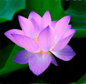 lotus-215460_960_720